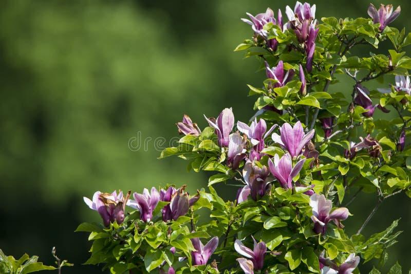 Cespuglio di fioritura rosa della magnolia fotografia stock libera da diritti