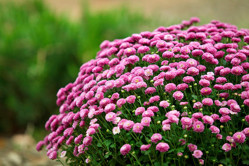 Cespuglio enorme dei crisantemi porpora nel giardino immagine stock