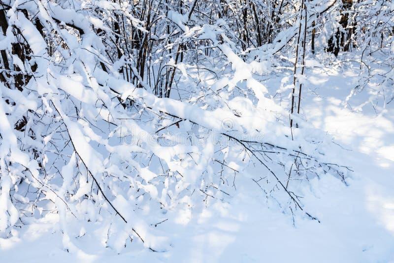 cespuglio innevato in foresta nel giorno di inverno soleggiato immagine stock