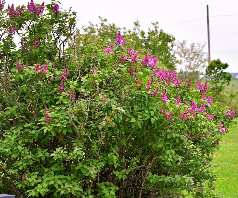 Cespuglio lilla in primavera immagini stock libere da diritti