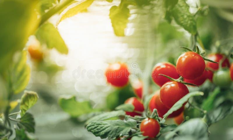 Cespuglio maturo dei pomodori ciliegia con luce progressiva artificiale fotografia stock