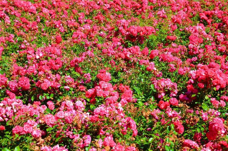Cespuglio meraviglioso delle rose fucsia selvatiche prese un giorno di molla soleggiato Queste rose hanno i fiori e foglie verdi  fotografie stock