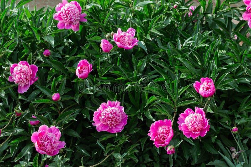 cespuglio rosa della peonia che cresce nel giardino fotografie stock libere da diritti