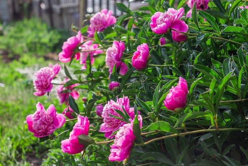 cespuglio rosa della peonia che cresce nel giardino immagine stock