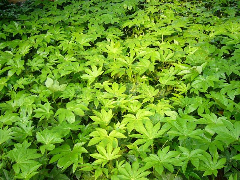 Cespuglio verde immagine stock