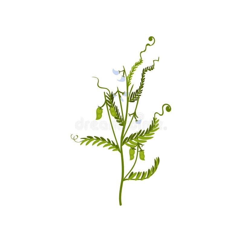 Cespuglio verde dei piselli dolci con i piccoli baccelli e foglie Prodotto di fattoria naturale Pianta leguminosa Icona piana di  illustrazione vettoriale