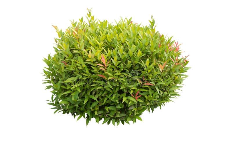 Cespuglio verde isolato immagine stock