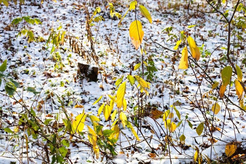 Cespuglio verde sulla radura della foresta coperta di neve fotografia stock