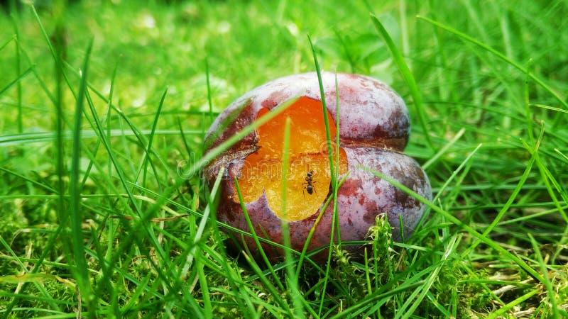 Cessez de manger ma prune image libre de droits