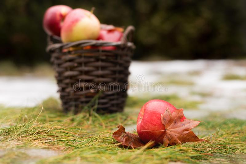 A cesta com as maçãs vermelhas e amarelas está na grama com neve Uma maçã está na parte dianteira de fotografia de stock royalty free