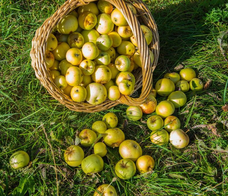 Cesta com colheitas de maçãs verdes e amarelas no jardim Cesta de frutos frescos, maduros, orgânicos no jardim foto de stock royalty free