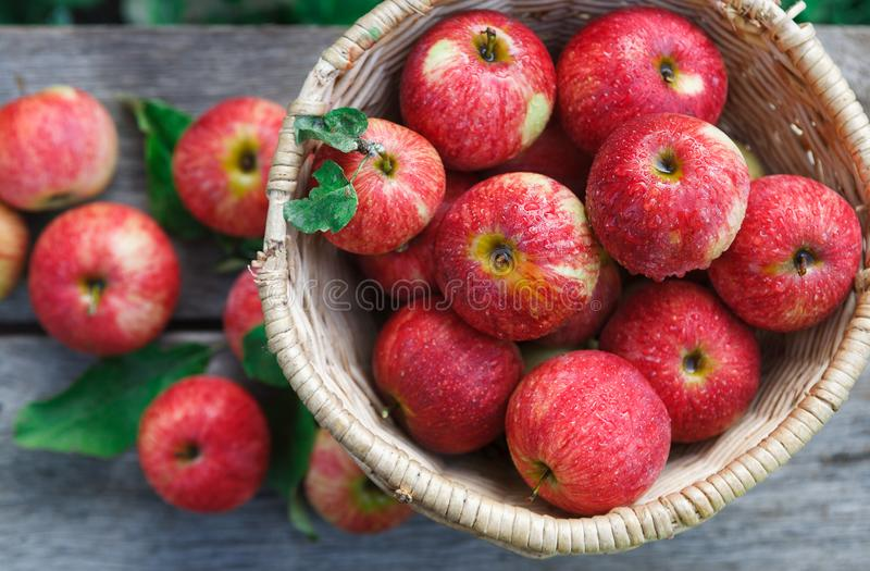 Cesta com o montão da colheita da maçã no jardim da queda imagem de stock royalty free