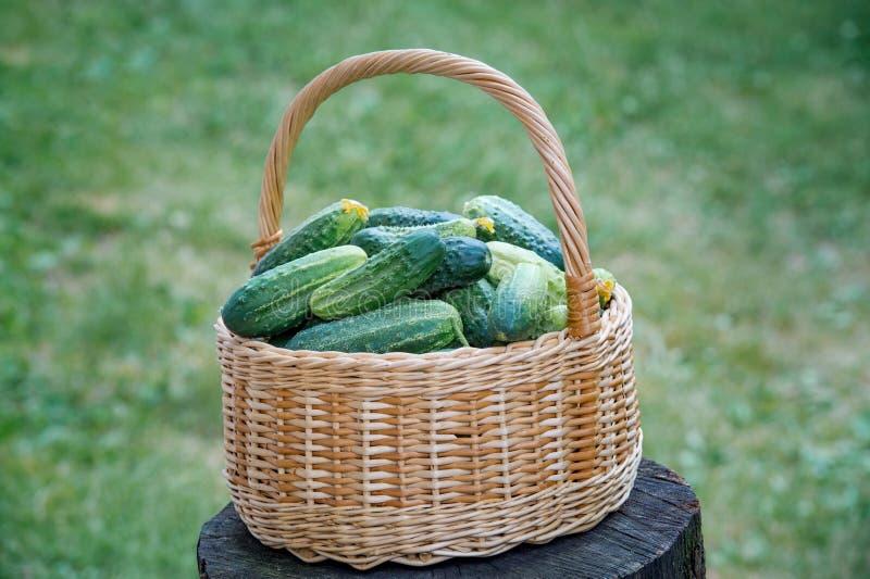 Cesta com pepinos Placas da colheita do ver?o para o inverno Cesta dos vegetais Pepinos frescos imagem de stock royalty free