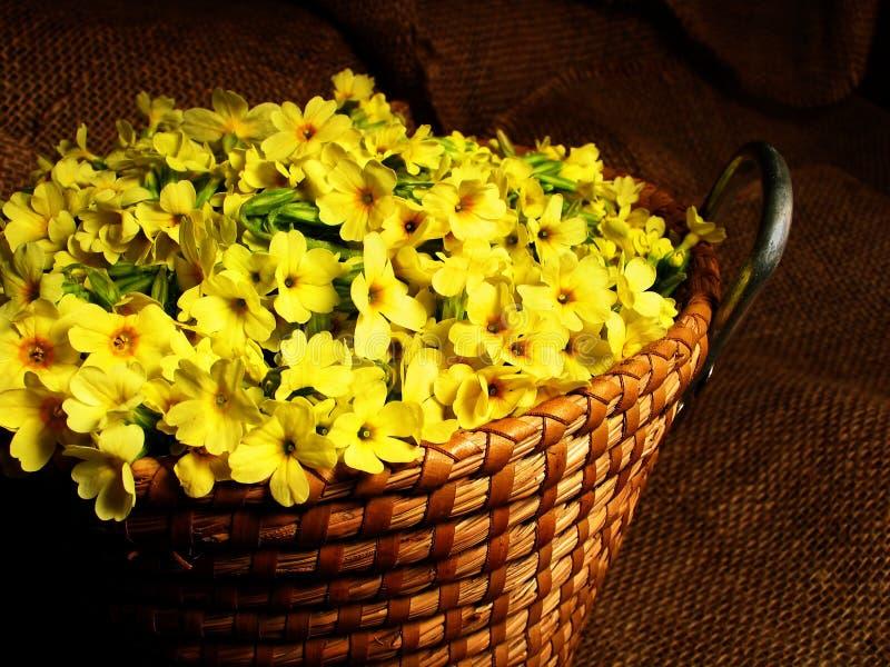 Cesta completamente das flores amarelas do primrose fotos de stock
