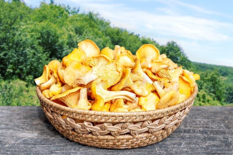 Cesta completamente de primas amarelas frescas do cogumelo no verão fotos de stock