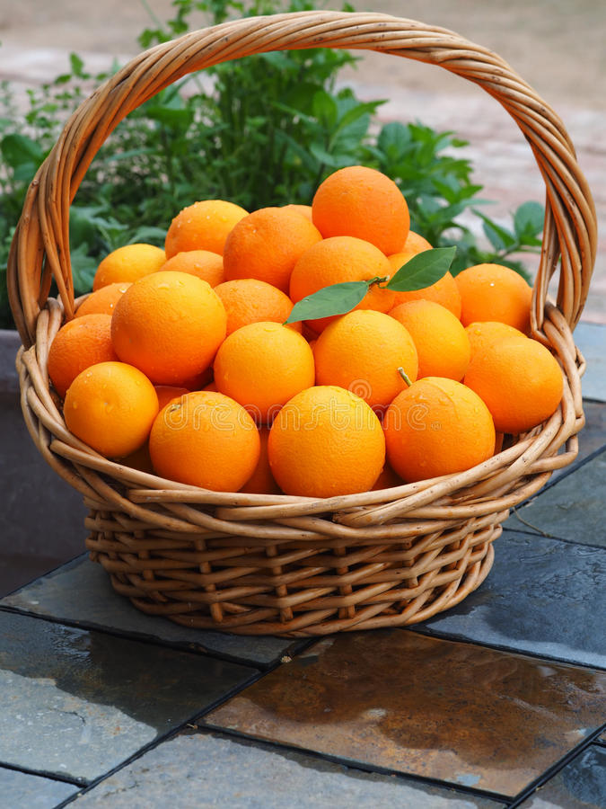 Cesta da colheita enchida com Valencia Oranges escolhido fresco fotografia de stock