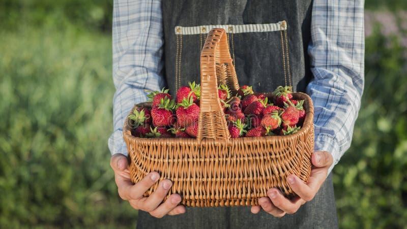 Cesta de madeira com as morangos nas m?os de um fazendeiro fotografia de stock royalty free
