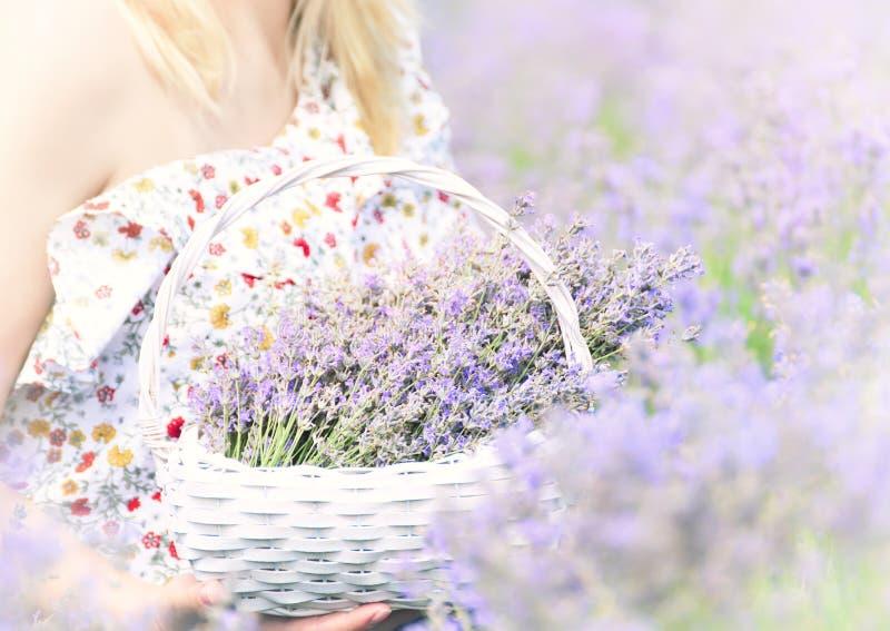 Cesta de mimbre en las manos de una muchacha con las flores de la lavanda de la lila en un campo de la lavanda imagen de archivo