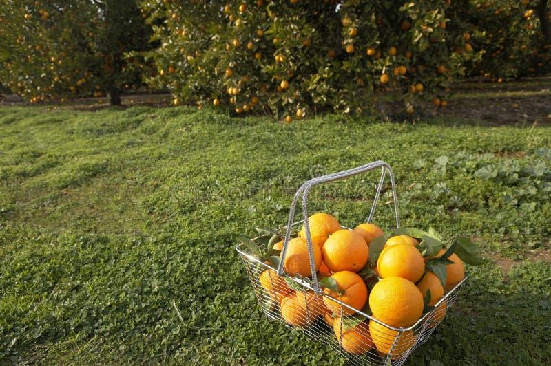 Cesta de naranjas en arboleda imágenes de archivo libres de regalías