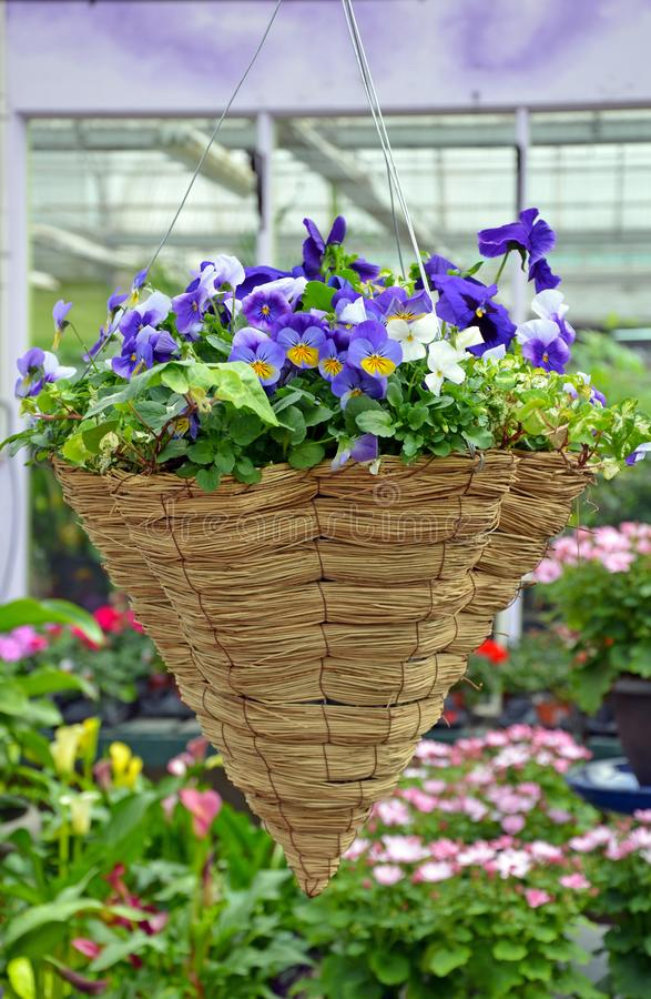 Cesta de suspensão da flor do amor perfeito imagens de stock