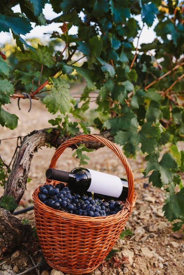Cesta de uvas con una botella de vino en el viñedo imagen de archivo