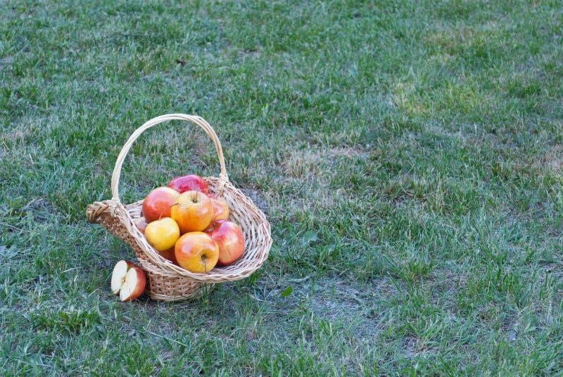 A cesta de vime é tecida das videiras com as maçãs amarelas no fundo da grama verde, frutos maduros amarelos, palha de vime, cerc foto de stock