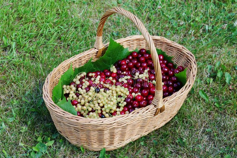 Cesta de vime caseiro com harve das bagas das cerejas e dos corintos foto de stock