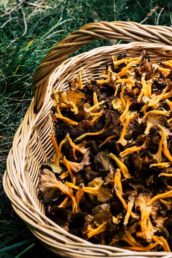 Cesta de vime completa com os cogumelos amarelos do pé na grama imagem de stock