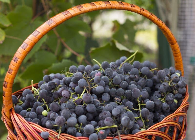 Cestas con las uvas de la naturaleza imagen de archivo libre de regalías