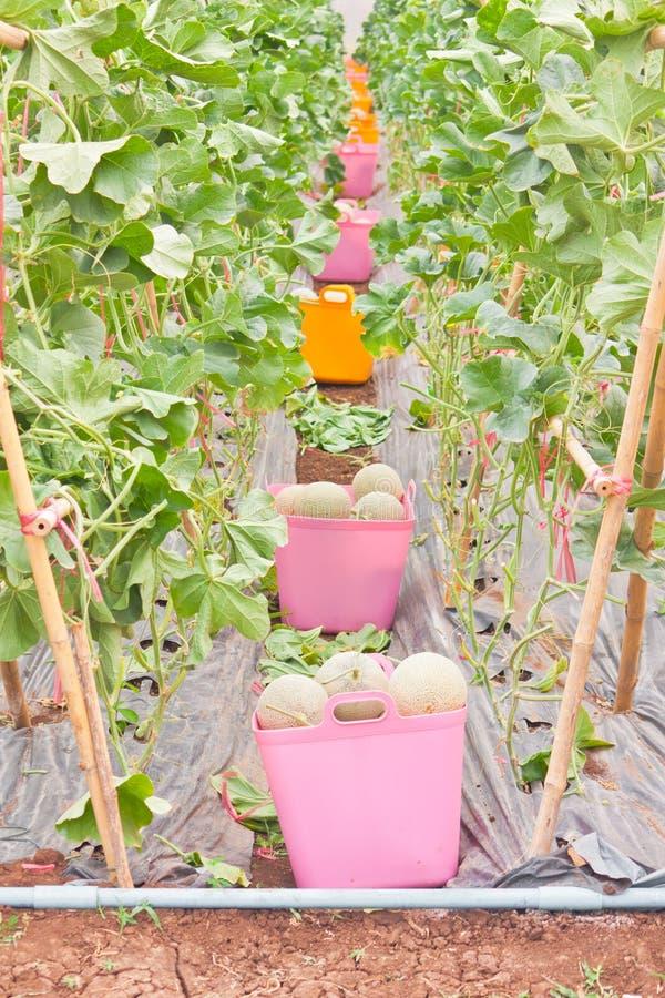 Cestas de melón japonés cosechado imágenes de archivo libres de regalías