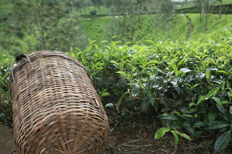 Cestino della raccoglitrice del tè immagini stock