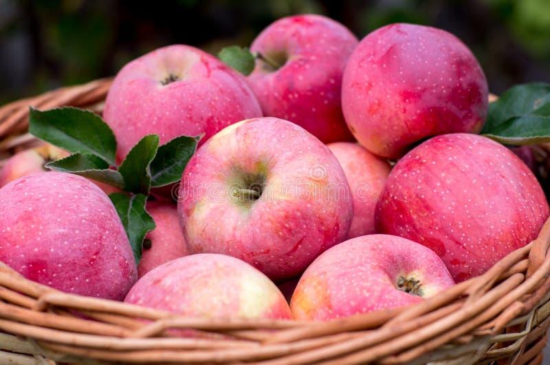 Cestino delle mele mature fotografie stock