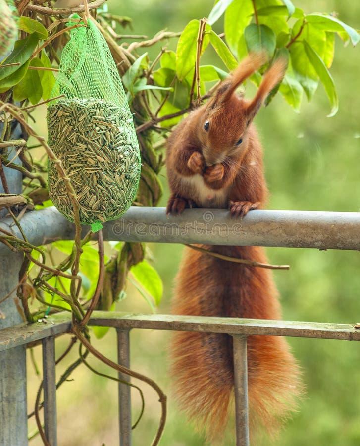 Cet écureuil rouge-brun vient chaque matin pendant l'hiver à ce balcon au milieu de la ville de Berlin - l'Allemagne, parce que images libres de droits