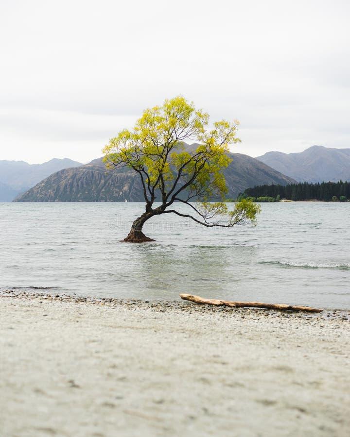 Cet arbre de Wanaka dans le lac photographie stock