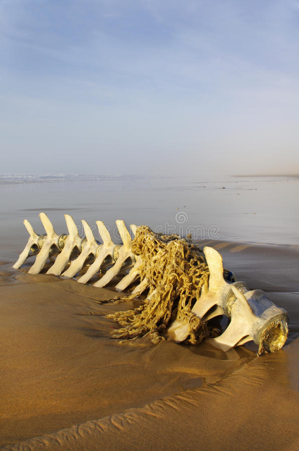 Cetacea skeleton. Beached pilot whale skeleton caught with fishing net royalty free stock image