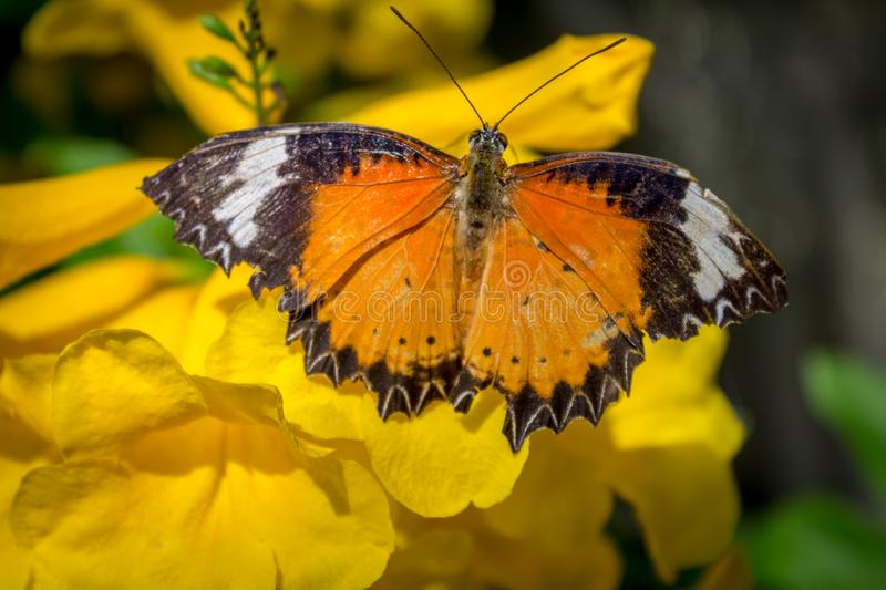 Cethosia cyane, leopard lacewing butterfly foraging on a yellow flower. Top view of Male Leopard lacewing (Cethosia cyane euanthes) butterfly on a yellow flower stock photography