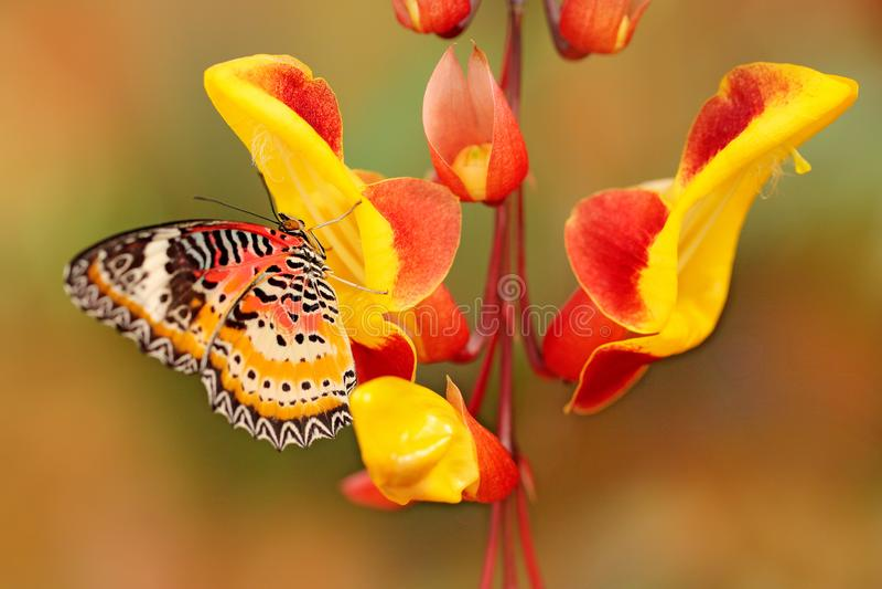 Cethosia cyane, Luipaard Lacewing, tropische die vlinder van India aan Maleisië wordt verstrekt Mooie insectzitting op rood en ye royalty-vrije stock foto's