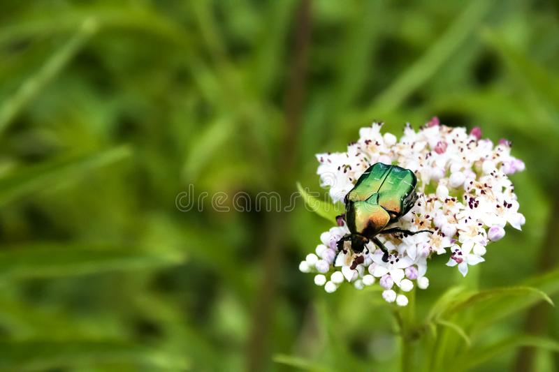 Cetonia aurata, called the rose chafer or the green rose chafer stock images