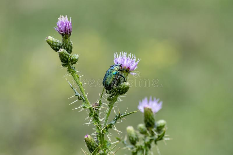 Cetonia aurata or Green Chafer beetle on a flower stock photography