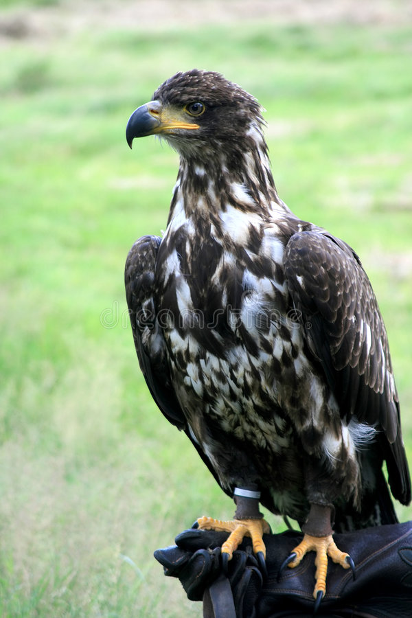 Cetrería y águila calva joven fotografía de archivo libre de regalías