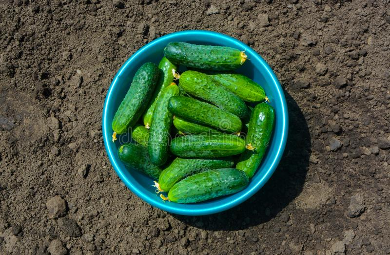 Cetrioli casalinghi freschi un giorno soleggiato, selezionato appena, primo piano, verdure fotografie stock libere da diritti