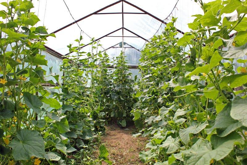 Cetrioli nel giardino Cetrioli nella serra immagine stock