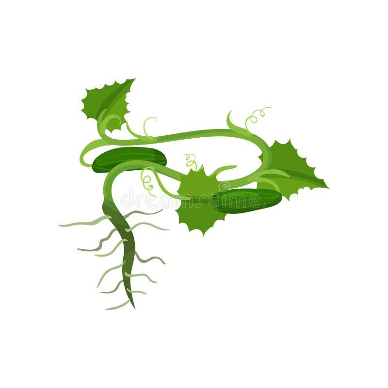 Cetrioli verdi maturi con le grandi foglie e radici Pianta di giardino Alimento biologico Elemento piano di vettore per l'imballa royalty illustrazione gratis