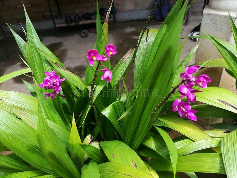 Cette fleur du pourpre 3 d'orchidée de jardin de Sri Lanka images libres de droits