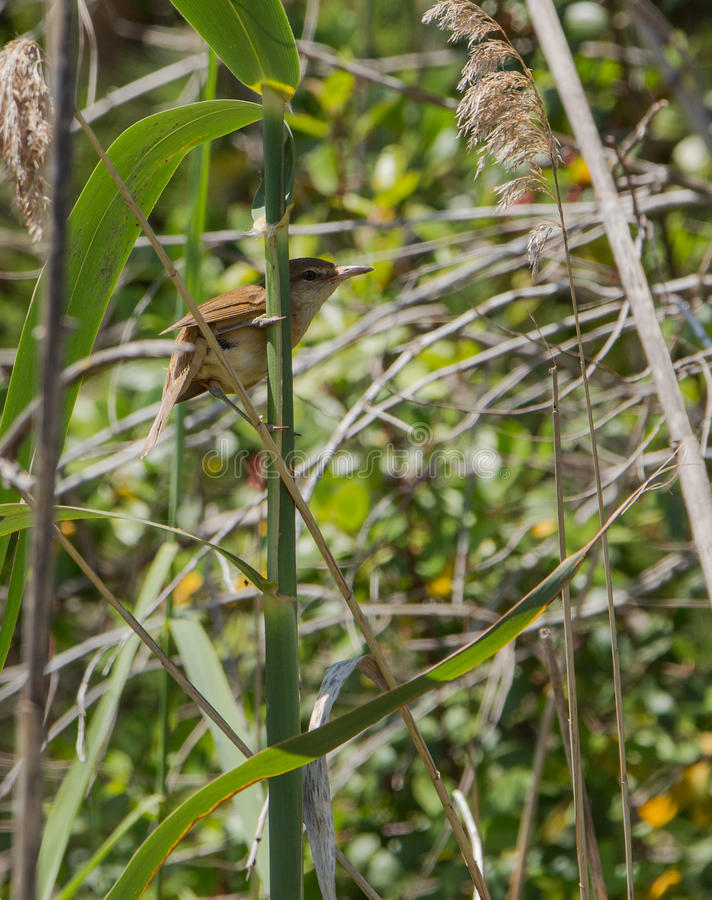 Cettis Warbler on a cane. A Cettis Warbler (Cettia cetti) clings firmly on the stem of a cane in a rare occasion to see this extremely elusive bird royalty free stock photos