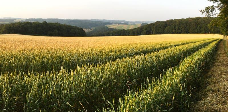Cevada/campo do trigo/colheita de Rye e paisagem de Eifel Triticale norte em Alemanha - Reno-Westphalia fotos de stock