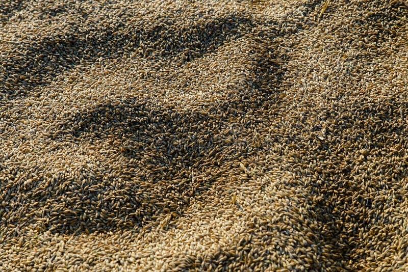 Cevada, fundo do cereal imagens de stock royalty free