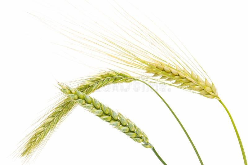 Cevada, trigo e centeio fotos de stock