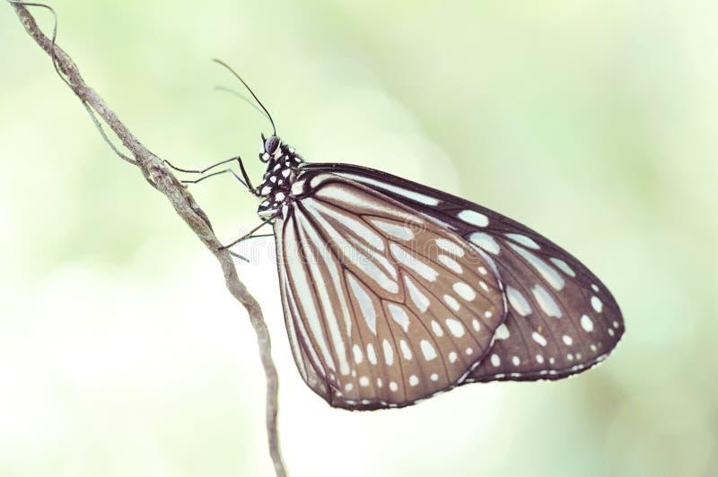 Ceylon blå glas- tigerfjäril - Ideopsis similis fotografering för bildbyråer