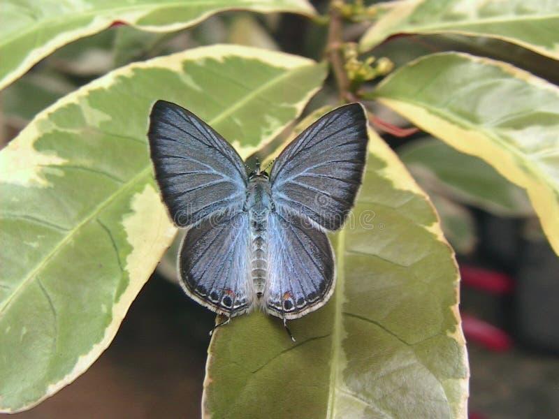 Ceylon-Cerulean-Schmetterling lizenzfreies stockbild